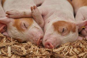 integrative medicine indispensable in farm animal practice